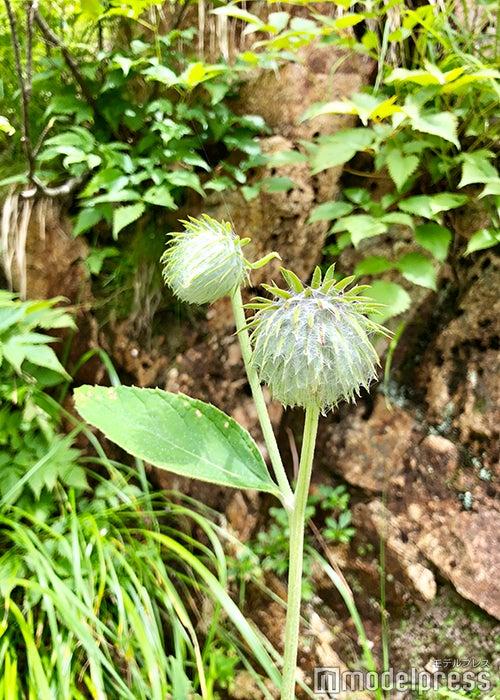 高山植物(C)ビューティーガール
