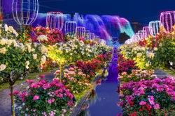 ハウステンボス、アジア最大級120万本のバラ祭開催 夜はライトアップで幻想的に