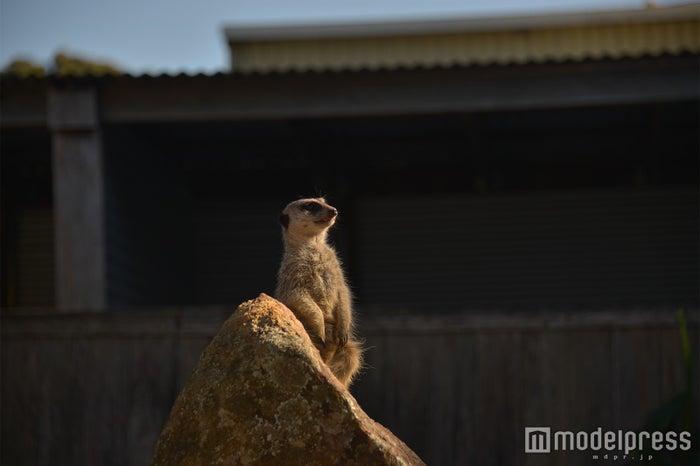 愛くるしい姿が人気のミーアキャットなどの動物たちが自然に近い環境で飼育されている(C)モデルプレス