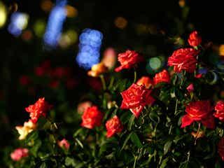ハウステンボス、バラと光がロマンティックな「秋バラ祭」開催