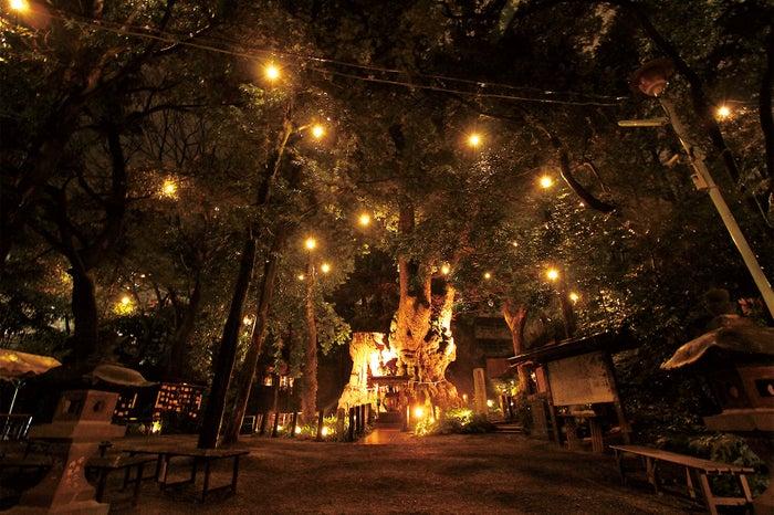幻想的な大楠のライトアップ、本物の木霊がひょっこり現れそう(提供画像)