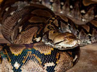 特定動物のアミメニシキヘビが逃走し行方不明 その危険性について横浜市に聞いた