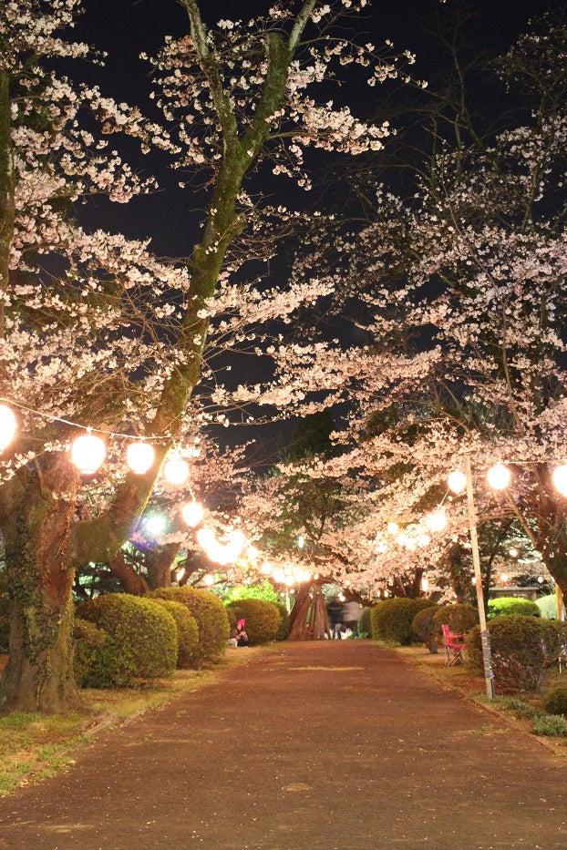 暗闇に浮かび上がる幻想的な夜桜/小山市