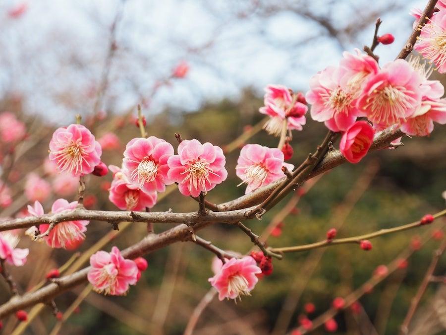 新宿御苑の梅