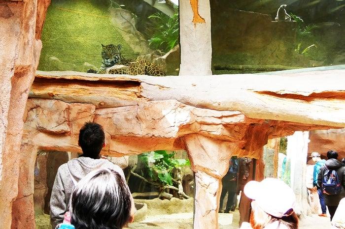 ジャガーの展示場/画像提供:那須どうぶつ王国