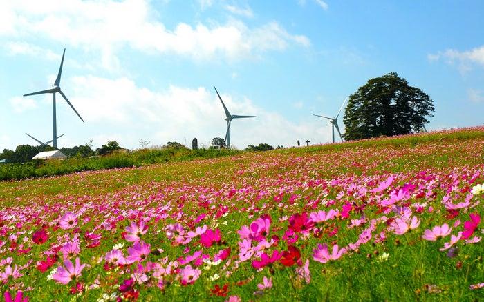 満開のコスモスが咲き誇る郡山布引 風の高原/画像提供:郡山市