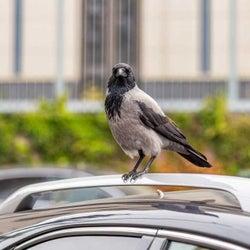 車についた鳥のフンをきれいに落とす方法