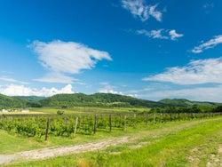 【注目の日本ワイン】収穫期のワイナリーでワイン造りに参加出来る特別なイベント!