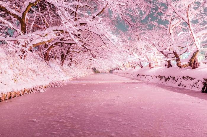 """桜の名所・弘前に咲く""""冬のさくら""""が話題沸騰 桃色に染まる雪景色が幻想的/画像提供:米山竜一"""