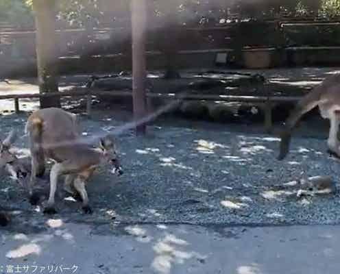 赤ちゃんカンガルーが母親から落下 直後の展開に「優しい世界」と感動の声