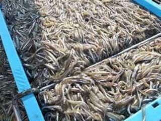 今季も不漁見込みのイカナゴ・シンコ漁 兵庫・播磨灘も29日解禁