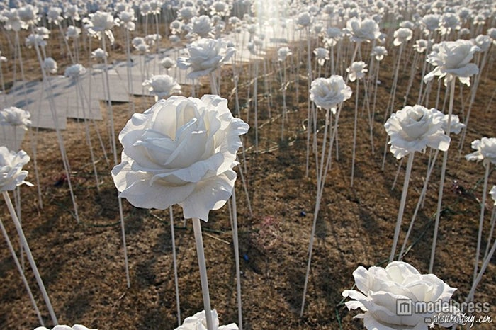 日中は純白のバラの花畑を楽しめる/画像提供:韓国観光公社