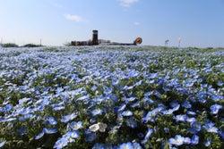 ネモフィラの海に感動!横須賀「ソレイユの丘」で満開に、海や空と溶け合う青の世界