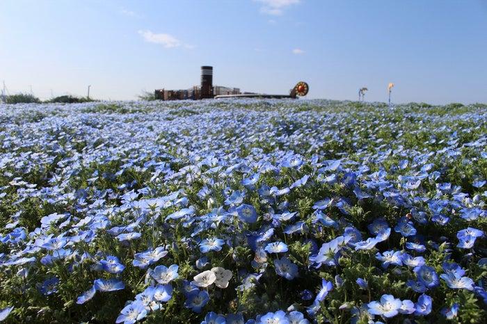 ネモフィラの海に感動!横須賀「ソレイユの丘」で満開に、海や空と溶け合う青の世界/画像提供:ソレイユの丘