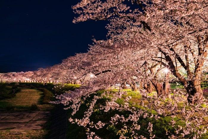 角館桧木内川堤防沿いの夜桜並木/photo by ぱくたそ