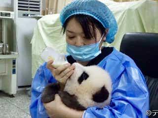 世界初の超レアなパンダ映像が続々!中国唯一の外国人パンダ飼育員になることを許された日本人に密着『世界ナゼそこ』